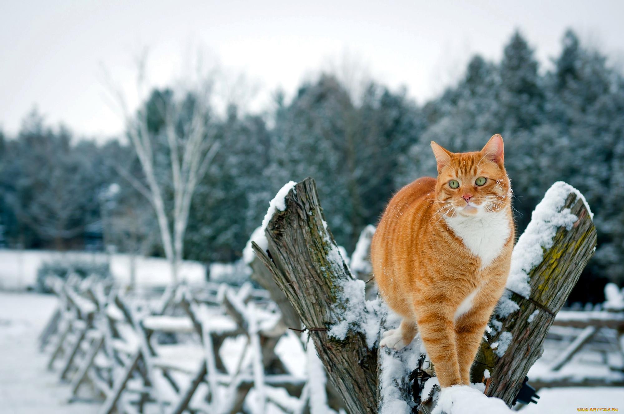 том, как картинки коты в снегу на рабочий стол отсутствие